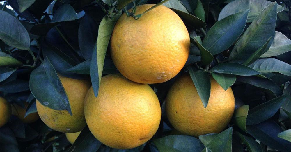 Cam cao phong là giống cam nổi tiếng có giá trị dinh dưỡng cao