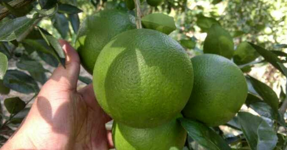 Cam mật không hạt là giống cam được yêu thích, có hiệu quả kinh tế cao