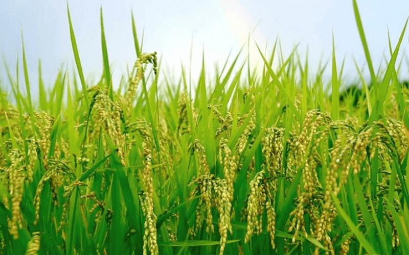 lúa là cây trồng cho thu nhập cao