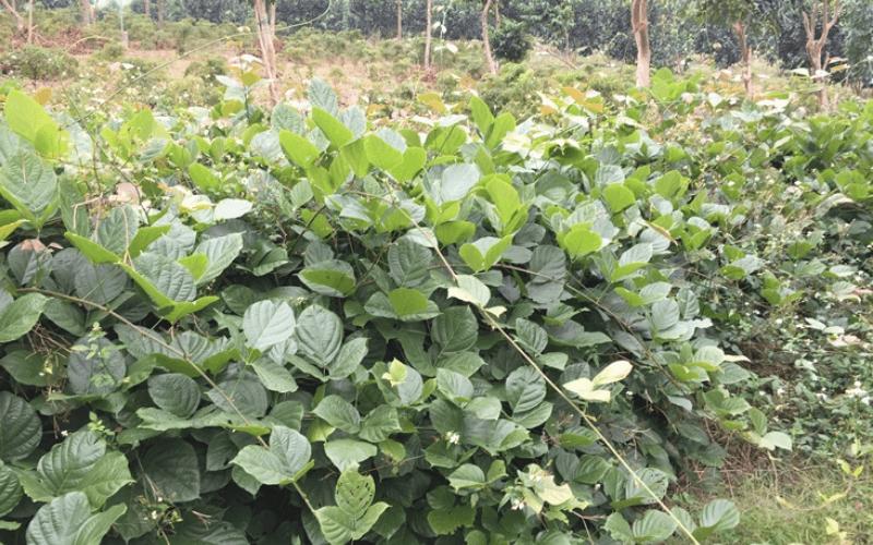 cây dược liệu