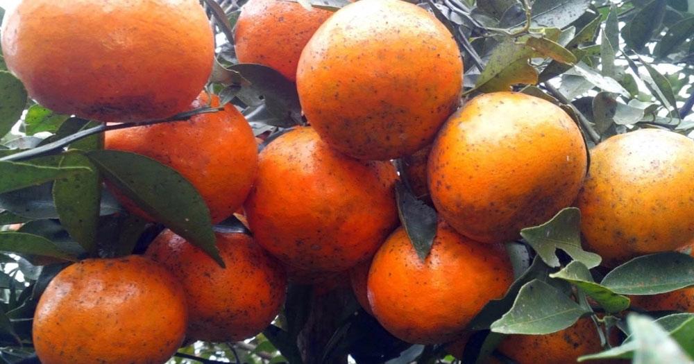 Cam bù là giống cam thường chín vào dịp Tết