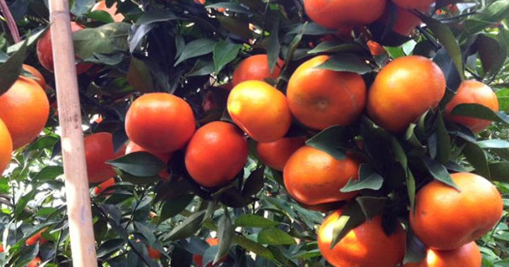 Cam canh là giống cam có quả mọng nước, thịt ngọt thơm và giá trị dinh dưỡng cao